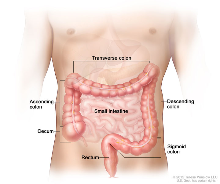 Parts of the colon; drawing shows the ascending colon, cecum, transverse colon, descending colon, sigmoid colon, and rectum.